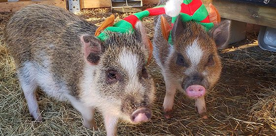 Mini Pigs Festive Holiday Outfits